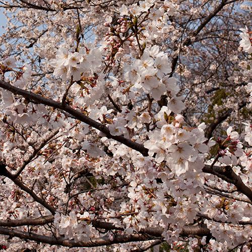 大堀川 桜