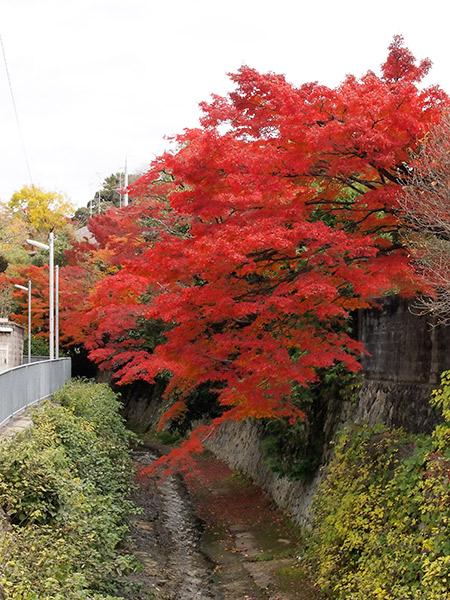 天神川の紅葉
