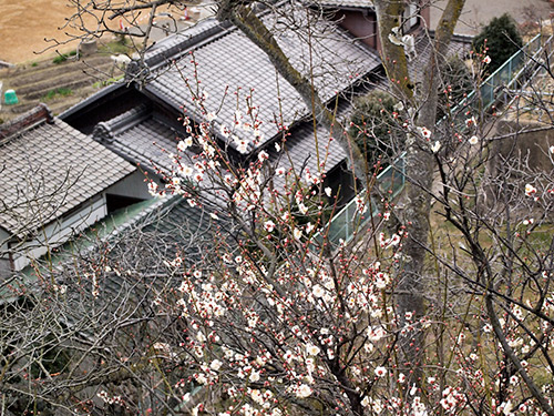 月ヶ瀬口駅の梅