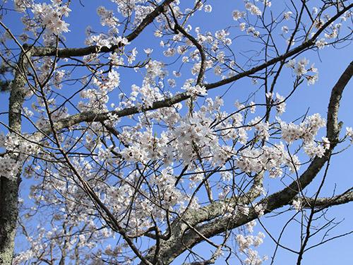 奈良公園 桜 2013