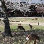 奈良さくら散歩