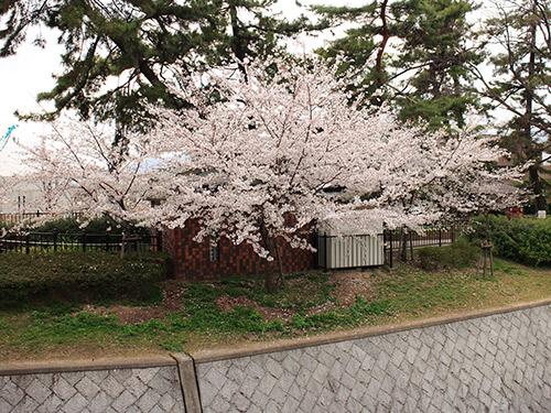 さくら 夙川
