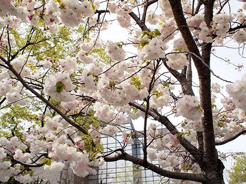 大野川筋の桜