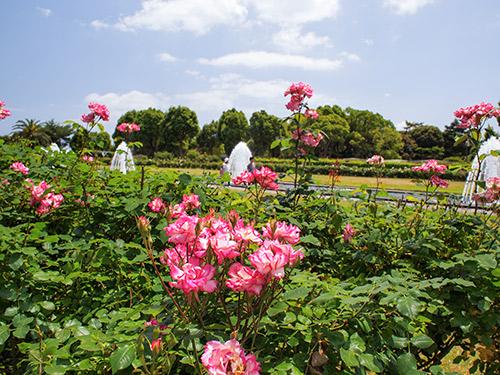 須磨離宮公園 バラ ミュージック