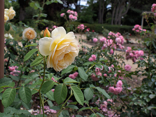 須磨離宮公園 グラハム・トーマス