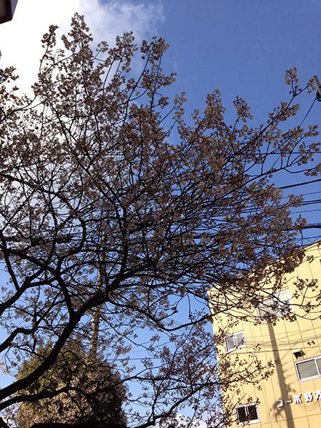狂い咲きの桜 中津