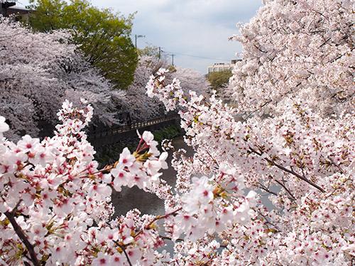 庄下川 桜2014