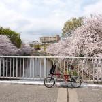 桜とバスケットとよもやま