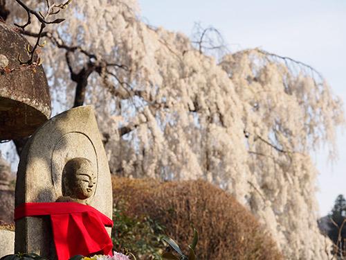 大野寺 しだれ桜 2014
