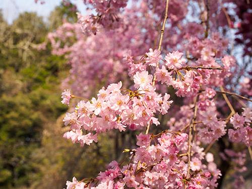 大野寺 桜 2014