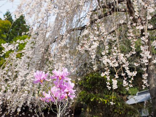 室生 しだれ桜 2014