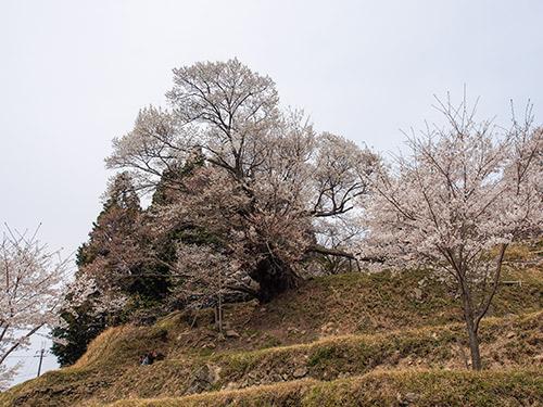 仏隆寺 千年桜 2014