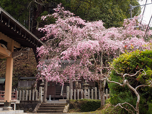 伊豆神社 しだれ桜 2014