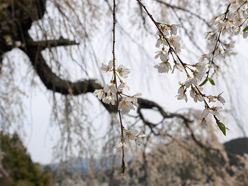 天益寺 しだれ桜 2014