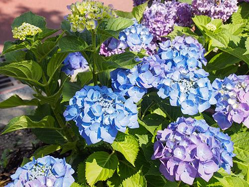 小曽根線の紫陽花
