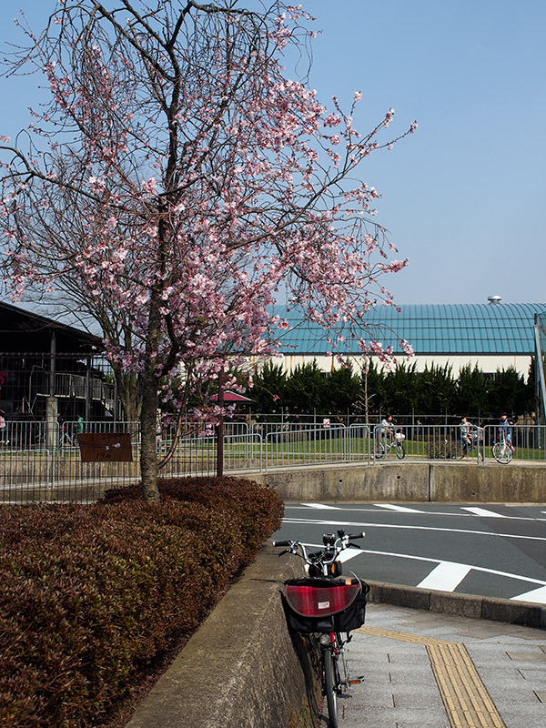 中舞鶴駅跡 桜 2015