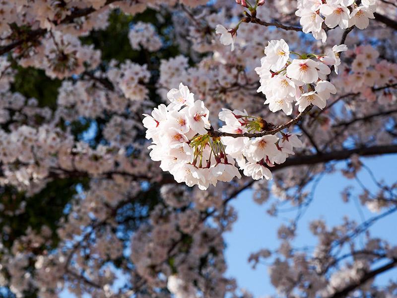 宝塚 桜 2015