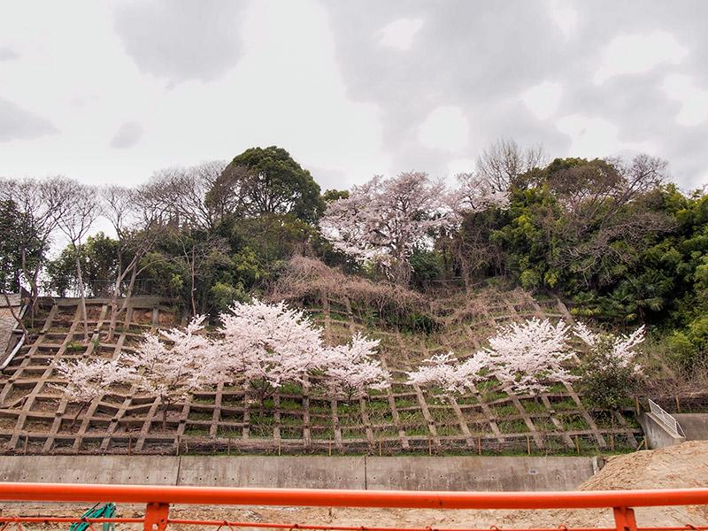 神戸市 北野 桜 2015