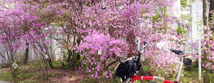 廣田神社 ツツジ 2015