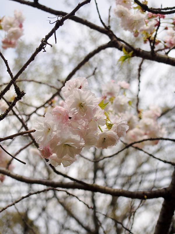 広田山公園 桜 2015