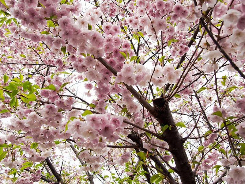ニテコ池 桜 2015