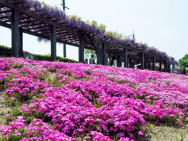 鳥羽水環境保全センター 芝桜 2015