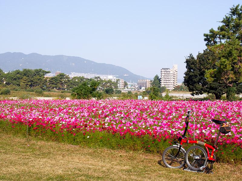 武庫川コスモス園 2015