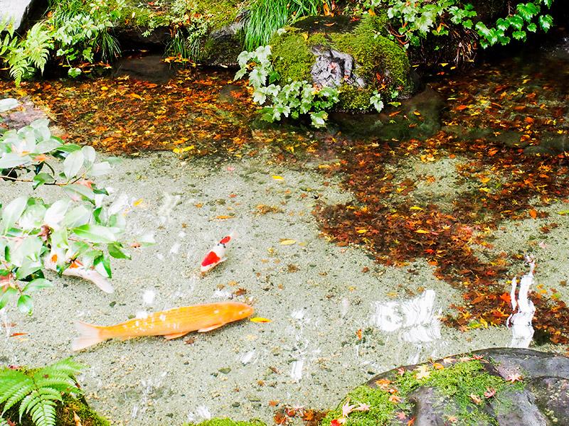 瑠璃光院 鯉