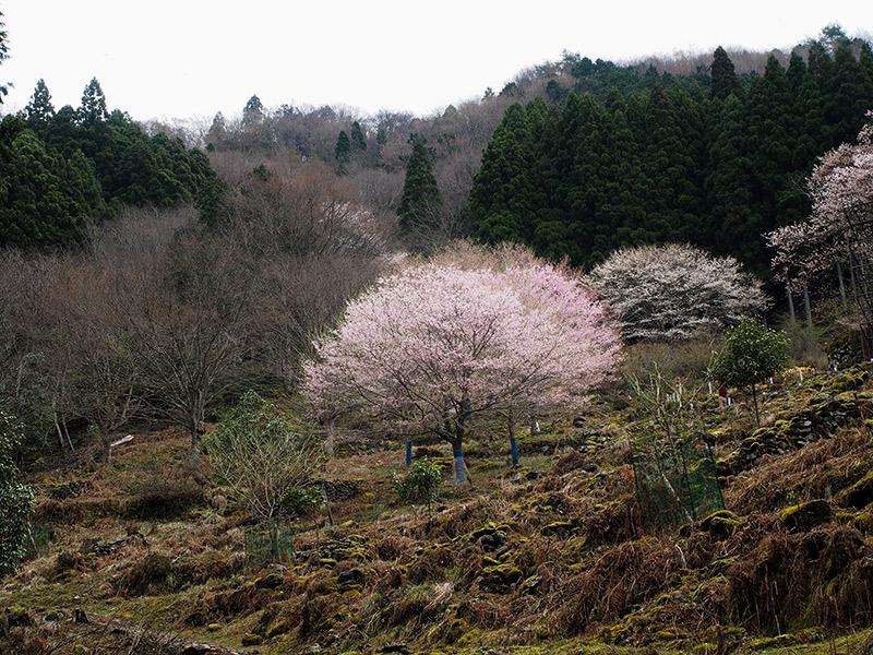 樽見の大桜 周辺 2016