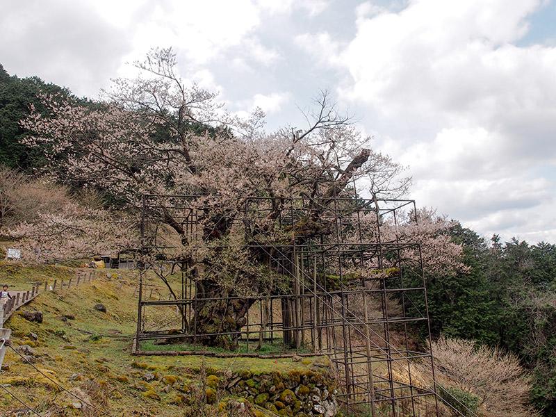 樽見の大桜 2016