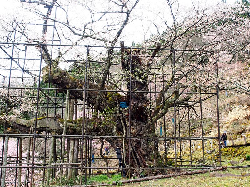 樽見 仙桜 2016