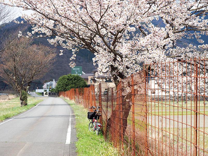 養父 大屋川沿いの桜 2016