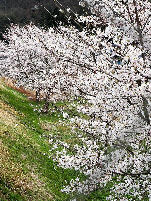 養父 円山川沿いの桜 2016