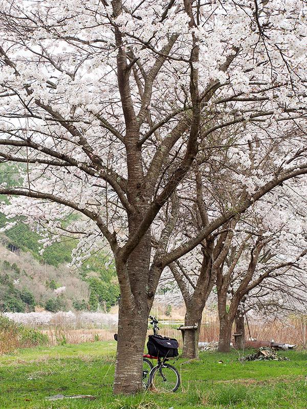 桜 養父神社付近 2016