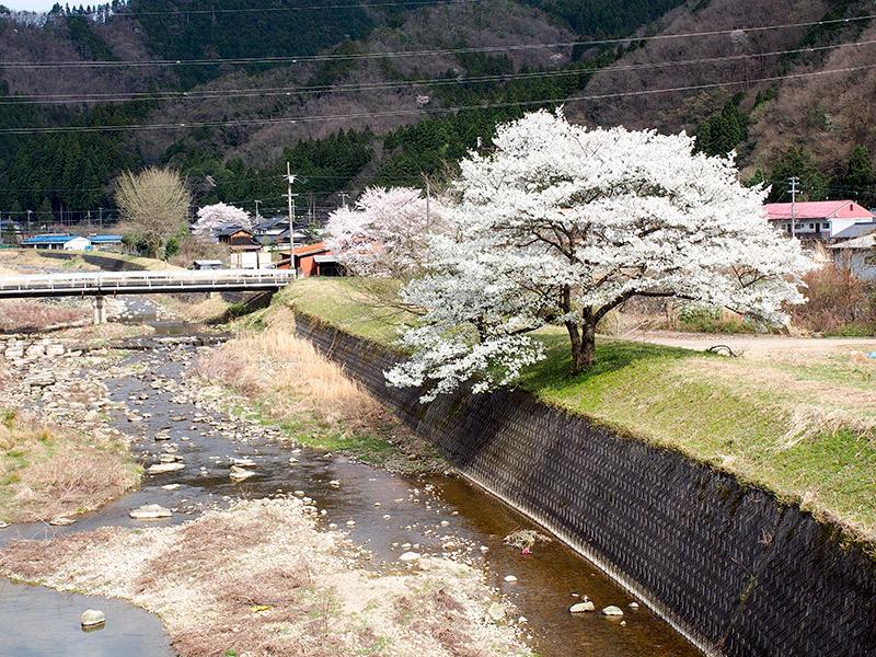 養父 米地川沿いの桜 2016