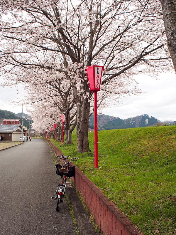 和田山 円山川沿いの桜 2016