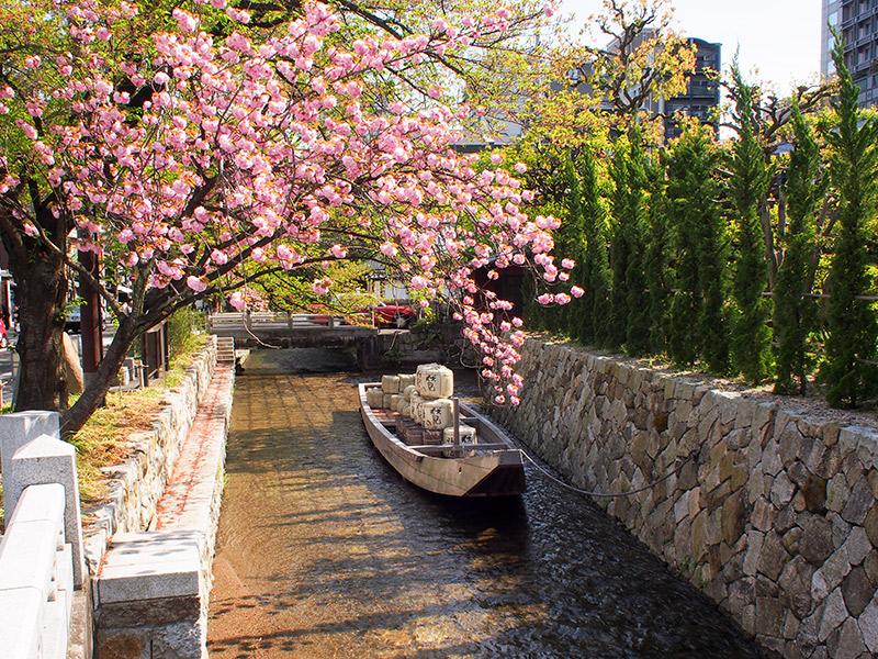高瀬川 桜 2016