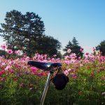 2016武庫川コスモス園1