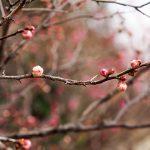 梅見月前の岡本梅林公園