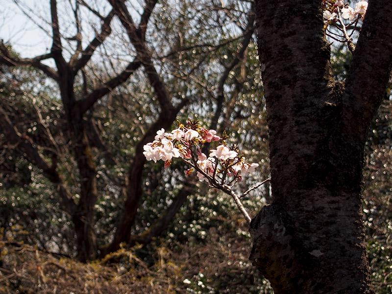 播磨中央公園 桜の園 2017