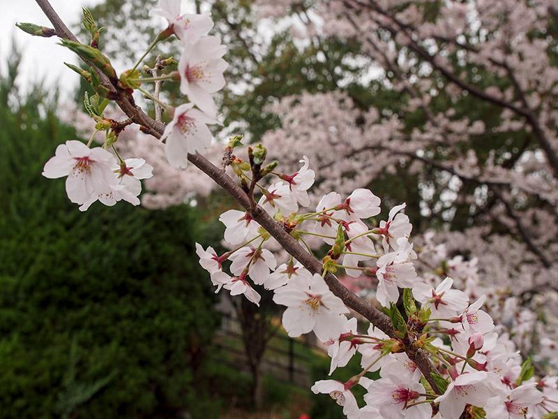 神戸市水の科学博物館 桜 2017