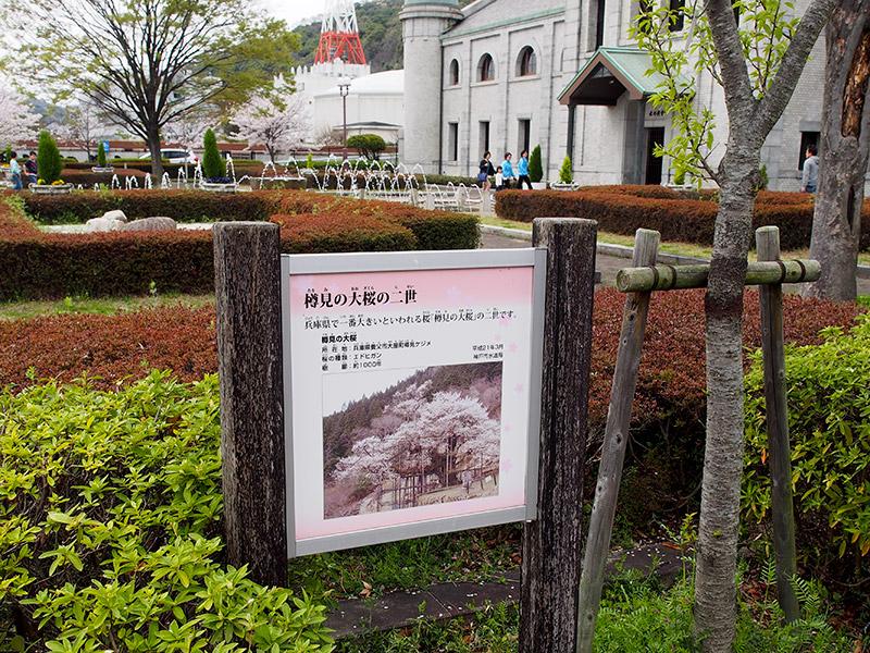 樽見の大桜 二世 案内