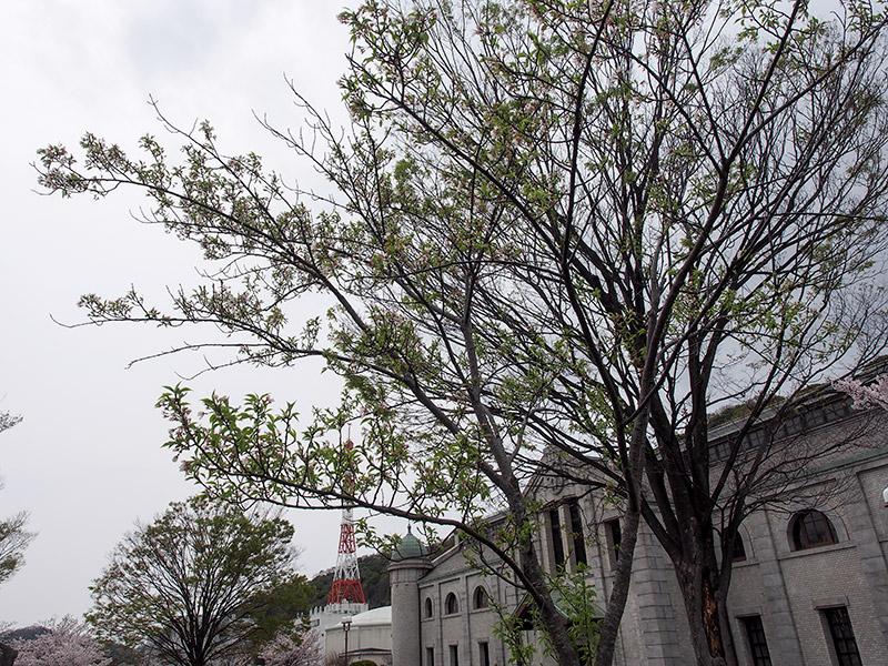 樽見の大桜の二世 2017