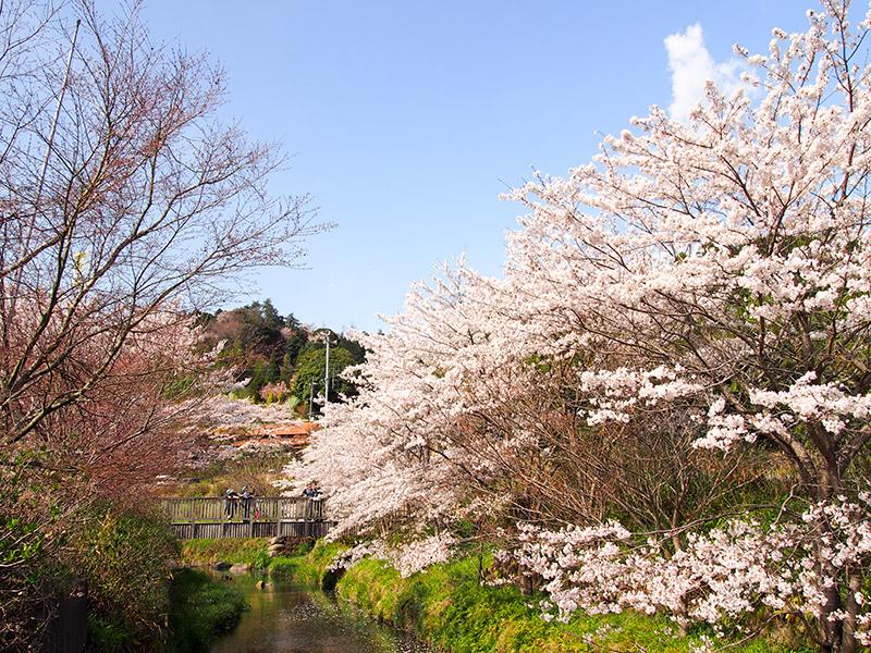 見山の郷 桜 2017