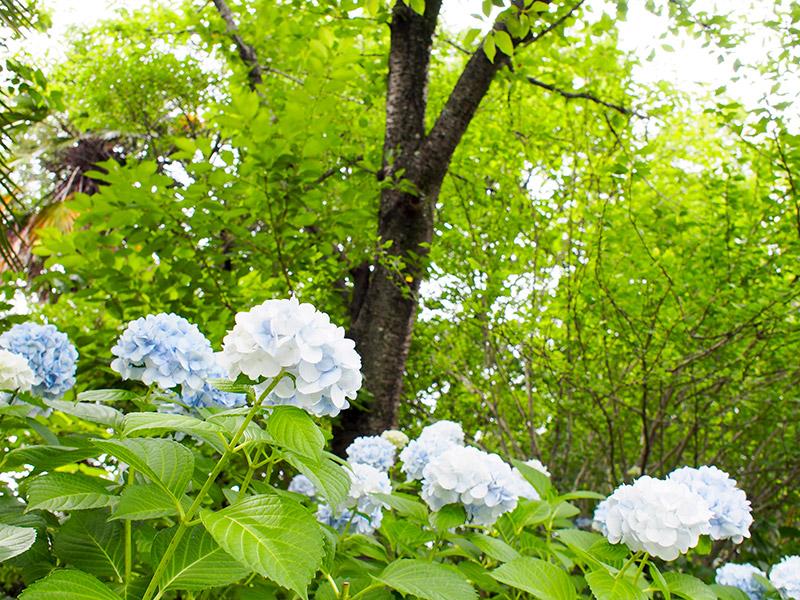 緑ヶ丘公園 紫陽花 2017