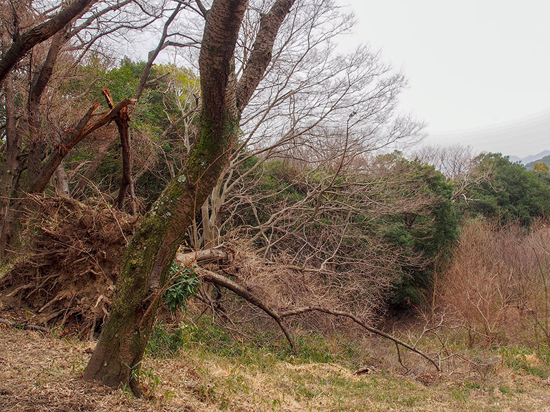 保久良山 倒木