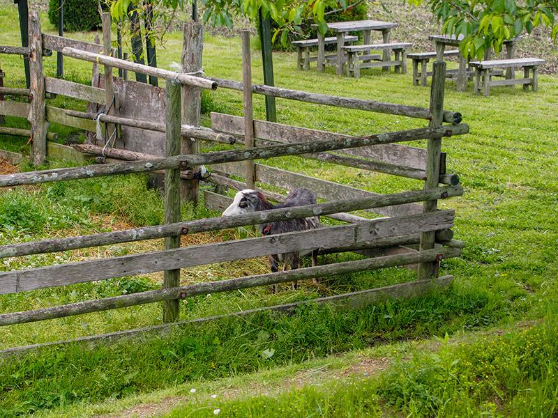 西山牧場 ヤギ