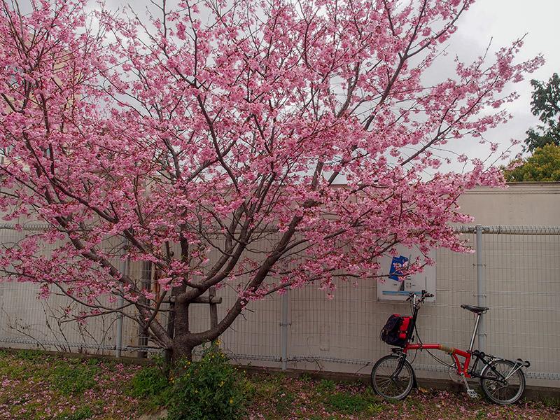 天神川の桜 2019