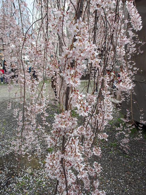立本寺 枝垂桜 2019