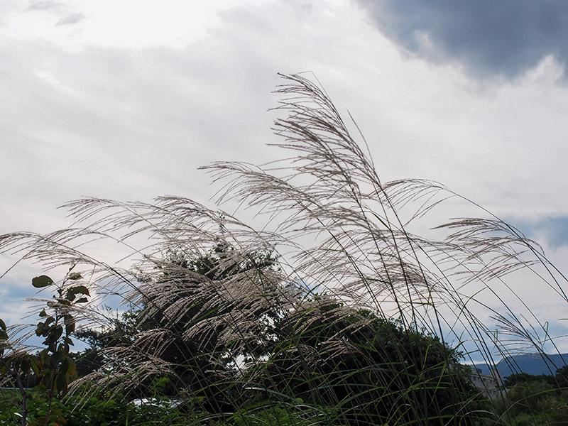 武庫川コスモス園 2019